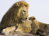 African Lion (Panthera Leo) Cub Approaching Adult Male, Vulnerable, Masai Mara Nat'l Reserve, Kenya Papier Photo par Suzi Eszterhas/Minden Pictures