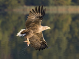 White-Tailed Eagle (Haliaeetus Albicilla) Flying  Norway