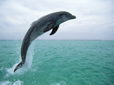 Bottlenose Dolphin (Tursiops Truncatus) Leaping  Honduras  Central America