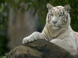 Melanistic or White Bengal Tiger (Panthera Tigris Tigris) Adult Resting
