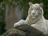 Melanistic or White Bengal Tiger (Panthera Tigris Tigris) Adult Resting