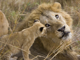 African Lion (Panthera Leo)Cub Playing with Adult Male  Vulnerable  Masai Mara Nat&#39;l Reserve  Kenya