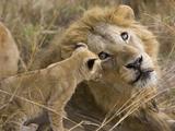 African Lion (Panthera Leo)Cub Playing with Adult Male, Vulnerable, Masai Mara Nat'l Reserve, Kenya Papier Photo par Suzi Eszterhas/Minden Pictures