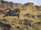 Leopard (Panthera Pardus) Running  Masai Mara  Kenya
