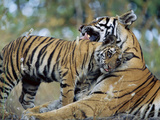 Bengal Tiger (Panthera TigrisTigris) Mother Grooming 6 Month Old Cub  Bandhavgarh Nat&#39;l Park  India