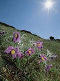 Pasqueflower (Pulsatilla Sp) on Hillside Beneath Shining Sun  Lake Baikal  Russia