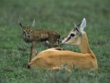 Thomson's Gazelle (GazellaThomsoni) Newborn Fawn  NgorongoroConservationArea  Tanzania  East Africa