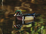 Wood Duck (Aix Sponsa) Male with Reflection in Lake  Vancouver  British Columbia