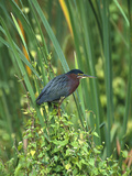 Green Heron (Butorides Virescens) Perching on Reeds  Everglades Nat'l Park  Florida