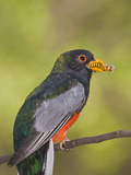 Elegant Trogon (Trogon Elegans) Male with Caterpillar in it's Beak  Santa Rita Mountains  Arizona