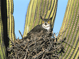 Great Horned Owl (Bubo Virginianus) Nesting in Saguaro (Cereus Gigantea) Cactus  Tucson  Arizona