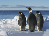 Emperor Penguin (Aptenodytes Forsteri) Trio on Edge of Ice  Antarctica