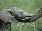 African Elephant (LoxodontaAfricana) Two Day Old and Mother  Ngorongoro Conservation Area  Tanzania