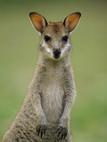 Agile Wallaby (Macropus Agilis) Juvenile  Bowling Green Bay Nat&#39;l Park  Australia
