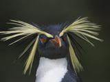 Rockhopper Penguin (Eudyptes Chrysocome) Portrait  Gough Island  South Atlantic