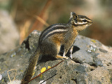 Lodgepole Chipmunk (Tamias Speciosus) Portrait on Rocks  Yellowstone Nat'l Park  Wyoming