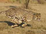 Cheetah (Acinonyx Jubatus) Running  Cheetah Conservation Fund  Namibia