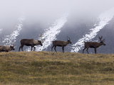 Caribou (Rangifer Tarandus) Group on Hillside  Kamchatka  Russia