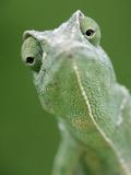 African Chameleon (Chamaeleo Africanus) Portrait  Africa