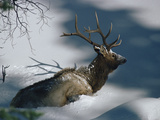 Elk or Wapiti (Cervus Elaphus) in Deep Snow  Yellowstone National Park  Wyoming