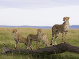 Cheetah (Acinonyx Jubatus) Mother and 6 Month Old Cubs  Masai Mara Nat'l Reserve  Kenya