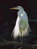Great Egret (Casmerodius Albus) in Breeding Plumage  Corkscrew Swamp  Florida