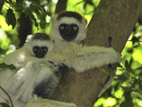 Verreaux's Sifaka (Propithecus Verreauxi) Mother with Infant  Berenty Private Reserve  Madagascar