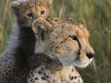 Cheetah (Acinonyx Jubatus) Eight Week Old Cub Playing with Mother  Maasai Mara Reserve  Kenya