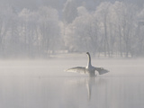 Mute Swan (Cygnus Olor) Stretching its Wings on a Misty Lake  Germany