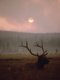 Elk or Wapiti (Cervus Elaphus) Resting in Tall Grass with Smoke  Yellowstone  Wyoming