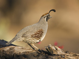 Gambel's Quail (Callipepla Gambelii) Male  Santa Rita Mountains  Arizona