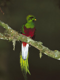 Resplendent Quetzal (Pharomachrus Mocinno) Female Perching in a Tree  Costa Rica