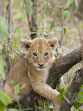 African Lion (Panthera Leo) 6 to 7 Week Old Cub Playing on Tree  Masai Mara Nat'l Reserve  Kenya