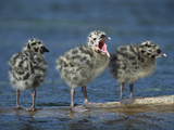 Mew Gull (Larus Canus) Three Chicks Standing on Submerged Log with One Calling  Anchorage  Alaska