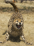 Cheetah (Acinonyx Jubatus) Hissing  Cheetah Conservation Fund  Namibia