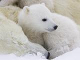 Polar Bear (Ursus Maritimus) Cubs on Top of their Mother  Wapusk Nat'l Park  Manitoba  Canada