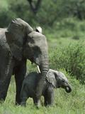 African Elephants (Loxodonta Africana)  Ngorongoro Conservation Area  Tanzania  East Africa
