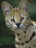 Serval (Felis Serval) Portrait  Native to Africa