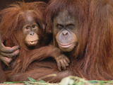 Orangutan (Pongo Pygmaeus) Mother and Baby  Endangered  Melbourne Zoo  Australia