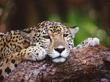 Jaguar (Panthera Onca)  Belize Zoo  Belize