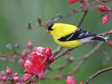 American Goldfinch (Carduelis Tristis) Male in Breeding Plumage  Nova Scotia  Canada