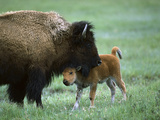 American Bison (Bison Bison) Female and Calf  Yellowstone Nat'l Park  Montana