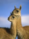Guanaco (Lama Guanicoe) Two Juveniles  Torres Del Paine Nat'l Park  Chile