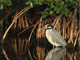 Yellow-Crowned Night Heron (Nyctanassa Violacea) Wading Among Mangrove Roots  Florida