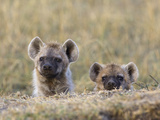 Spotted Hyena (Crocuta Crocuta) 4 to 6 Month Old Cub Siblings  Masai Mara Nat'l Reserve  Kenya