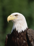 Bald Eagle (Haliaeetus Leucocephalus)  North America