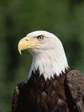 Bald Eagle (Haliaeetus Leucocephalus)  North America