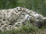 Snow Leopard (Uncia Uncia) Pair Playing Together  Endangered  Native to Asia and Russia