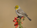 Verdin (Auriparus Flaviceps) Male  Santa Rita Mountains  Arizona