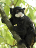 Spix's Moustached Tamarin (Saguinus Mystax) in Tree  Pacaya Samiria Nat'l Park  Peru